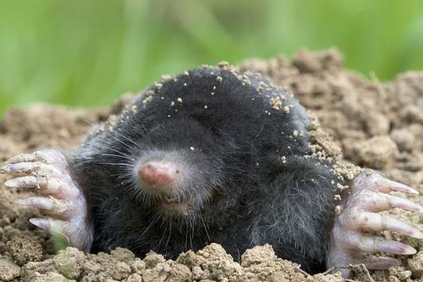 Mole (Talpa europaea)
