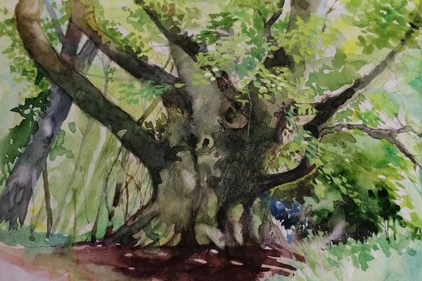 Watercolour painting of a veteran beech tree