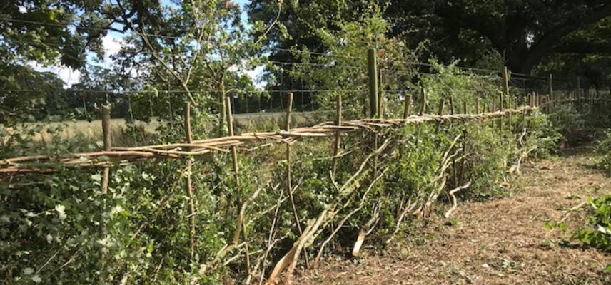 The image of Hedgelaying, nearby shrubs and small tree stems have been bent, partially cutting and intertwined to create a hedge line