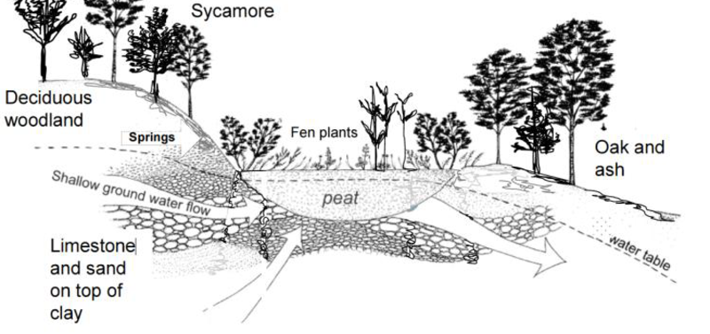 Diagram of Fen Land (wetlands) dipicting layers of soil, limestone, clay and various tree.