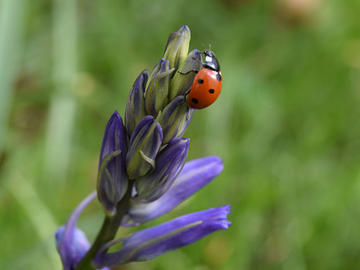 Image of red and black spotted ladybug standing on the tip of a bluebell flower