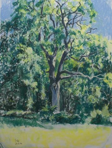 Ash tree in Summer