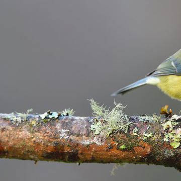 Image of a Blue tit bird perched on a tree branch covered in moss and lichen, blue tit has bright yellow chest feathers with blue and white feather over the head