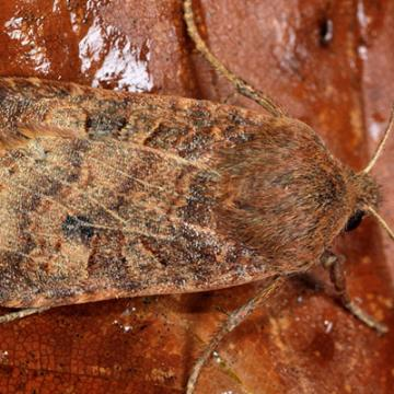 Chestnut moth (Conistra vaccinii)