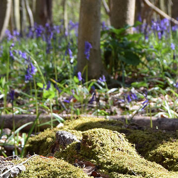 Image of logs lying on the ground covered in moss with bluebells in the distance